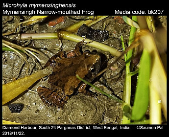 Microhyla mymensinghensis - Mymensingh Narrow-mouthed Frog