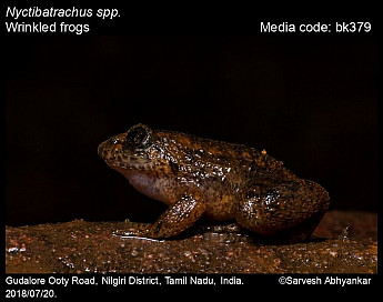 Nyctibatrachus spp. - Wrinkled frogs
