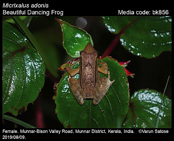 Micrixalus adonis - Beautiful Dancing Frog