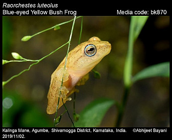 Raorchestes luteolus - Blue-eyed Yellow Bush Frog