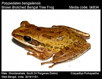 Polypedates bengalensis - Brown Blotched Bengal Tree Frog